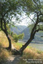 Mittelrhein: Baum auf dem Rheinburgenweg bei Oberwesel - Foto: Stefan Frerichs / RheinWanderer.de