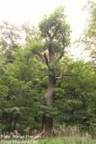 Mosel: Blitzeiche im Wald südlich von Neef - Foto: Stefan Frerichs / RheinWanderer.de